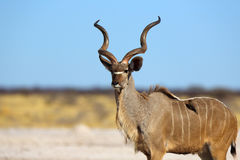 Proud kudu bull Stock Photo