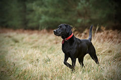 Proud Labrador in Countryside