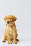 Proud Labrador Puppy. Labrador Puppy photographed on a light neutral grey backdrop in the studio. Dog is sitting up straight and proud, looking off to the left Royalty Free Stock Photos