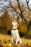 Proud Labrador Retriever in a park Royalty Free Stock Photos