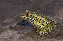 Proud Leopard Frog Royalty Free Stock Photo