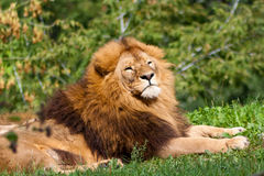 Proud Lion Stock Image