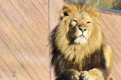 Proud lion lying down Royalty Free Stock Images