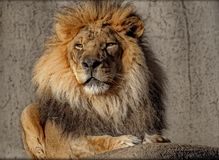 Proud Lion. Lion poses for his picture while soaking in the sun Royalty Free Stock Image