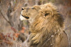 Proud Lion Profile Stock Image