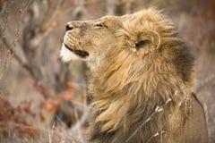 Proud Lion Profile Stock Image