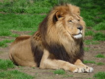 A proud lion sitting in the grass, close-up Stock Image