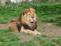 A proud lion sitting in the grass Royalty Free Stock Photo