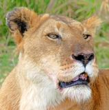 Proud lioness. Proud lioness after a kill stock photo