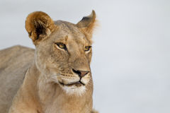 Proud Lioness stock images