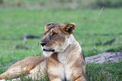 The Proud Lioness. A Lioness in Africa staring out in to the distance Stock Photos