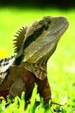 The proud lizard. Proud lizard has its nose high up Royalty Free Stock Photos