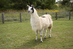 Proud Llama. Llama with an interested expression and proud stance Stock Photos
