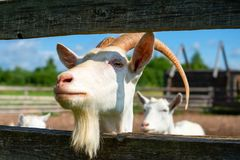Proud Look Of A Goat Royalty Free Stock Photo