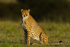 Proud Looking Cheetah Sitting In Grassland, Masai Mara, Kenya. A large chested Cheetah, sitting in the golden rays of sunrise. A dark forest is behind it Stock Photos