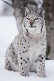 Proud lynx cat sitting in the snow. A european lynx sits in the snow. Cold winter, February, Norway Royalty Free Stock Photos