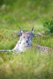 Proud lynx in the grass. Eurasian lynx rests in the green grass Stock Photo