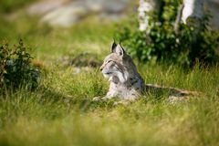 Proud lynx in the grass. Eurasian lynx rests in the green grass Royalty Free Stock Photography