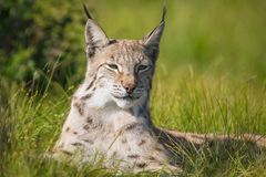 Proud lynx laying in the grass. Eurasian lynx rests in the green grass Stock Image