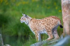 Proud lynx scout for prey. Eurasian lynx cat standing by a tree and looks for pray or danger Stock Photos
