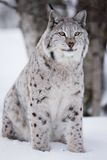 Proud lynx sitting in the snow Stock Image