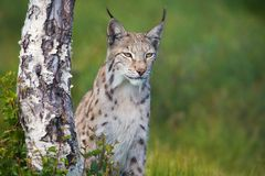 Proud lynx standing by a tree. Eurasian lynx standing by a tree in the green grass Stock Photo