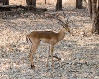 Proud male Impala Stock Photos