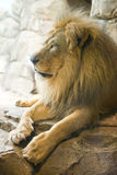 Proud Male Lion Head and Mane, Wildlife Animal Stock Photography