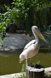 Proud male pelican Royalty Free Stock Images