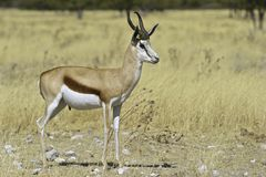Proud male Springbok. Male Springbok (Antidorcas marsupialis) in Namibian grasslands, Etosha National Park Royalty Free Stock Images