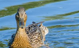 Duck on the blue water of a forest lake royalty free stock photo
