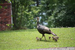 Proud momma turkey with babies. This proud momma turkey taking her babies for a walk Stock Image