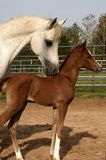 Proud Mother. Grey Arabian mare and chestnut foal Royalty Free Stock Photos