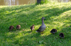 Proud mother duck standing guard over family. A mother duck proudly stands guard over her growing babies Royalty Free Stock Image