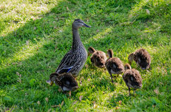 Proud  mother duck standing guard over  toddler babies Stock Photography