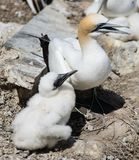 Gannets with their young Stock Photo