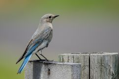 Mountain Bluebird Perched Atop a Weathered Wooden Post royalty free stock photo