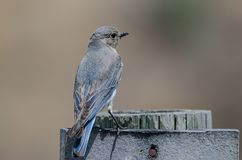 Proud Mountain Bluebird Perched Atop a Weathered Wooden Post royalty free stock photos