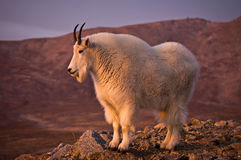 Proud Mountain Goat Stock Photo