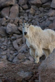 Proud Mountain Goat Stock Photography