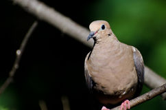 A Proud Mourning Dove Perched in a Tree Stock Photo