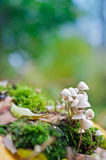 Proud. A mushroom family on the forest floor Stock Photography