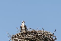 Proud Osprey in the Nest Stock Photo