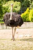Proud ostrich and his eggs Royalty Free Stock Photo