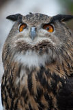 Proud Owl. Great Horned Owl looking pleased with himself Stock Images