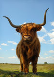 Proud ox against blue sky. Close up of proud ox in field against blue sky Stock Photos
