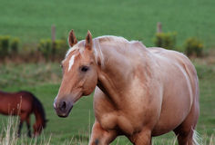 Proud Palomino. A beautiful palomino horse strolling in the pasture Stock Image