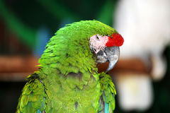Proud parrot Stock Photography