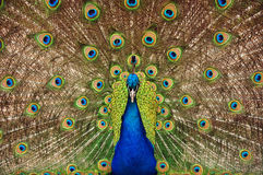 Proud peacock Stock Images
