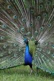 Proud Peacock Stock Photos